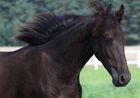 Pferde fryzyjski Flip G.