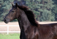 Koń fryzyjski Coen G.
